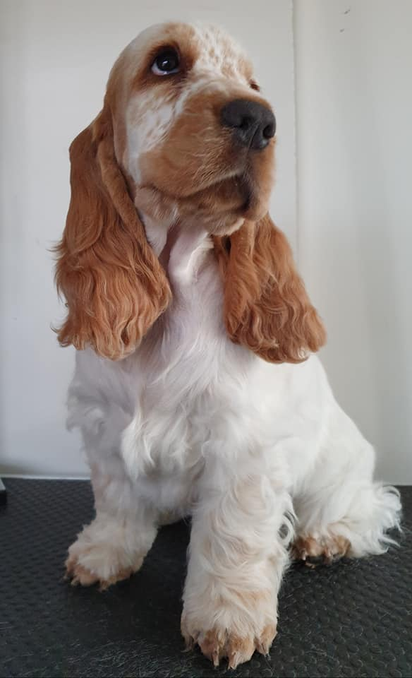 cocker klip hundefrisør hund